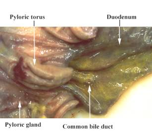 Clinical gross anatomy