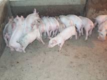 Greasy Pig Disease